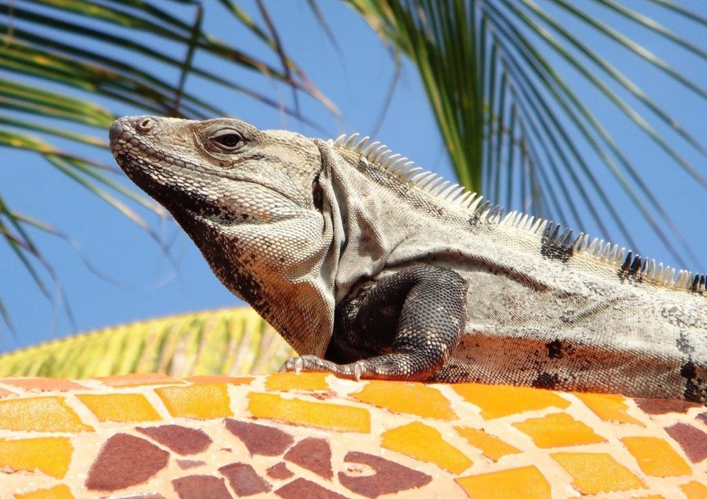 iguana 734079 1920 e1554305816717 1024x723 - Viaggio di Nozze in Messico: l'itinerario perfetto