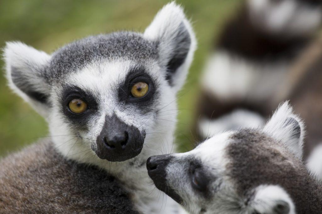 Noisybe-lemure