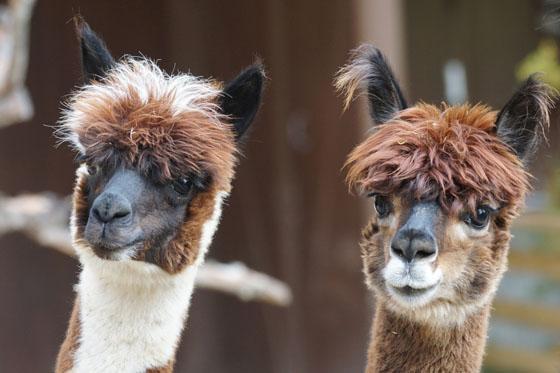 alpaca-perù